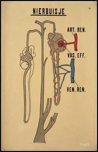 Onderwijsplaat m.b.t. het nierbuisje