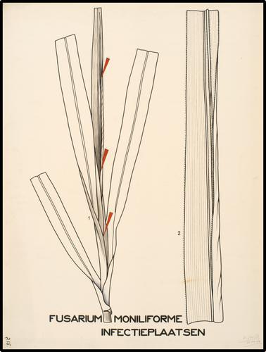 Fusarium moniliforme, infectieplaatsen