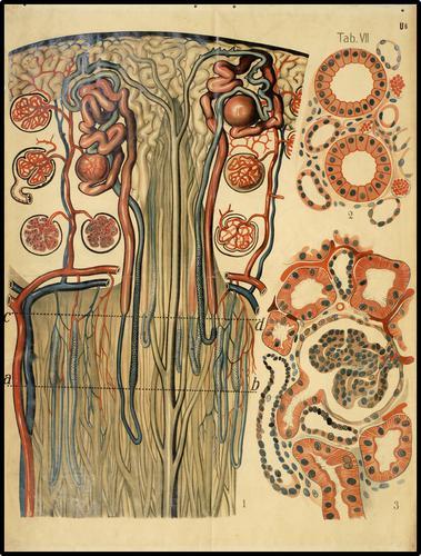 Doorsnede van de nier
