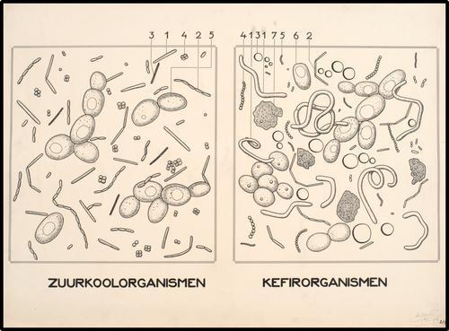Zuurkoolorganismen en kefirorganismen