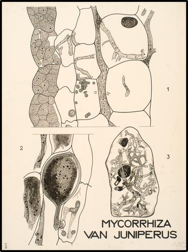 Mycorrhiza van Juniperus