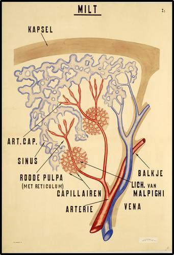 Anatomie van de milt