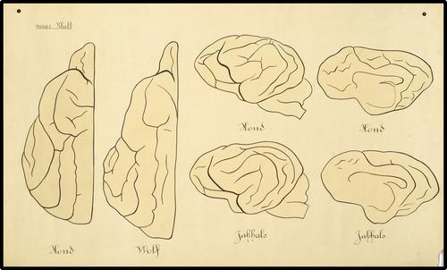 Onderwijsplaat m.b.t. de hersenen van hond, wolf en jakhals