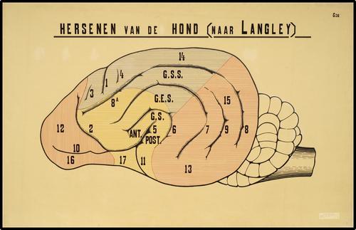 Hersenen van de hond (naar Langley)