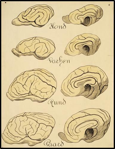 Onderwijsplaat m.b.t. de dierlijke hersenen