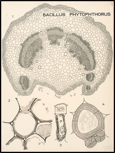 Bacillus phytophtorus