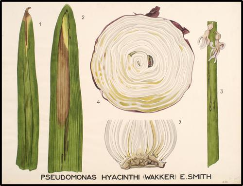 Pseudomonas Hyacinthi (wakker), E.Smith
