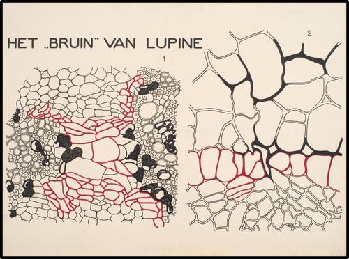 """Het """"bruin"""" van lupine"""