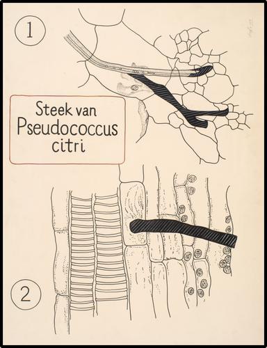 Steek van pseudoroccus citria