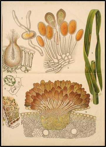 Puccinia graminis Schmeil 8