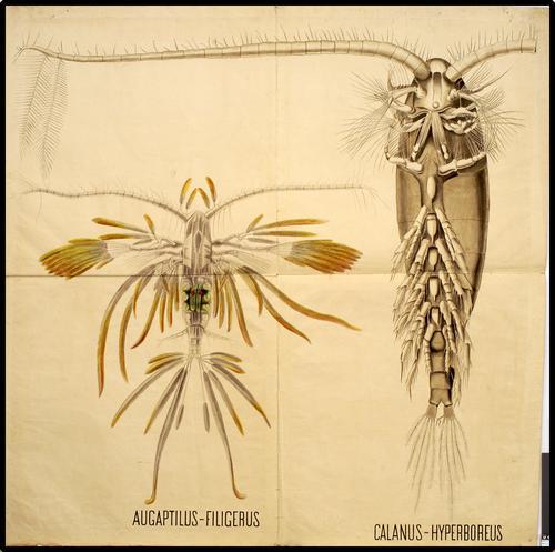 Angaptilus Filigerus, Calamus-Hyperboreus