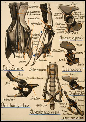 Moschopcapensis, Lepus cuniculus, Udendon, Pelacanus, Ornithorhynchus, Piademodon, Galeopithecus volans