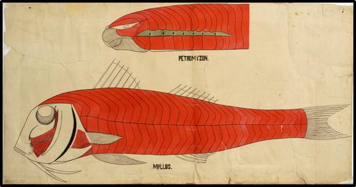 Petromyzon Mullis Spierstelsel n:511vissen