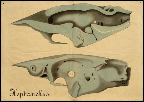 hepthanchus