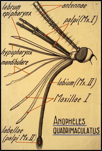 Anophelus Quadrimaculatus