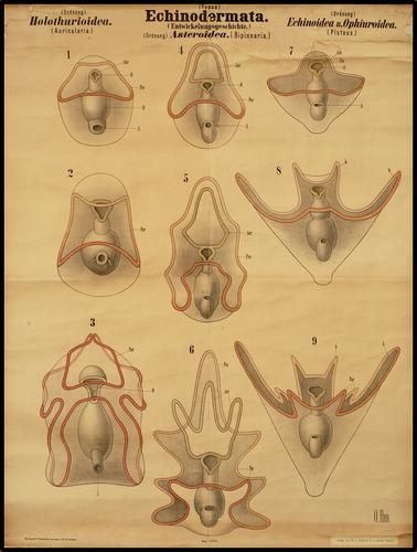 echinodermata stekelhuidigen ontwikkeling