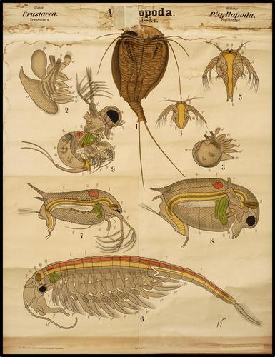 Arthropoda kreeft
