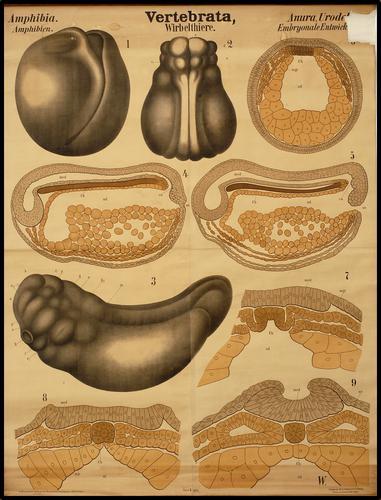 Vertebrata embryonale ontwikkeling