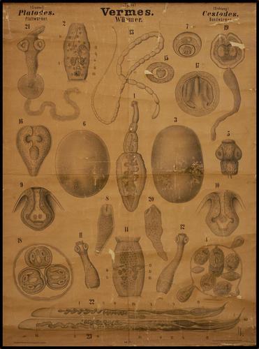 Vermes platworm