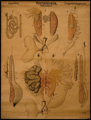 vertebrata werveldieren