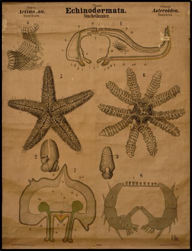 echinodermata zeester