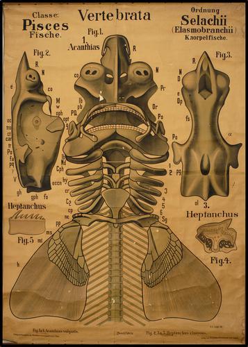 vertebrata vis