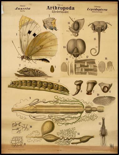 Arthropoda vlinder