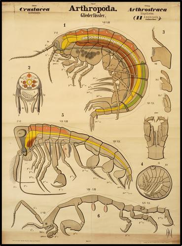 Arthropoda insekt