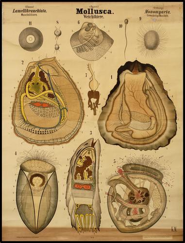 Mollusca mossel
