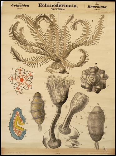 Echinodermata stekelhuidigen