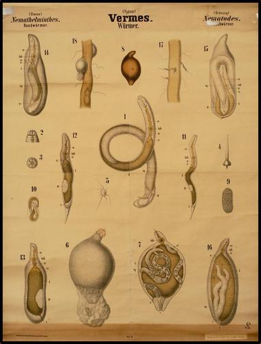 Vermes wormen