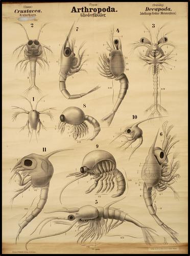 Arthropoda geleedpotigen kreeft
