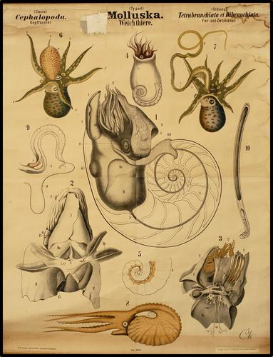 Mollusca weekdieren
