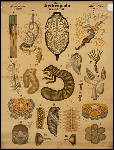 Arthropoda geleedpotigen insect