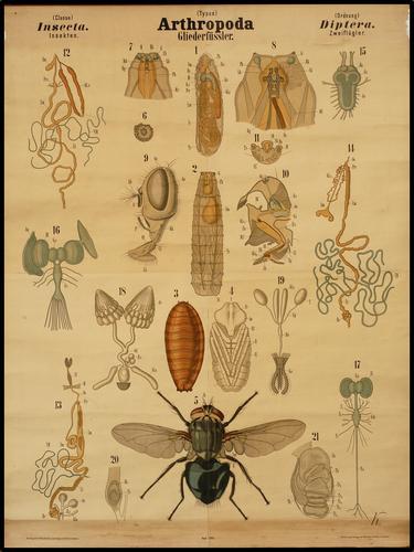 Arthropoda geleedpotigen insekt