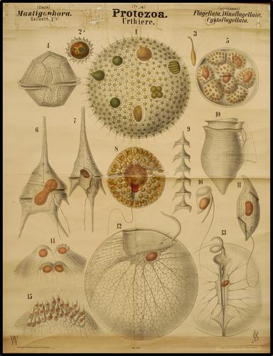 Protozoa eencelligen