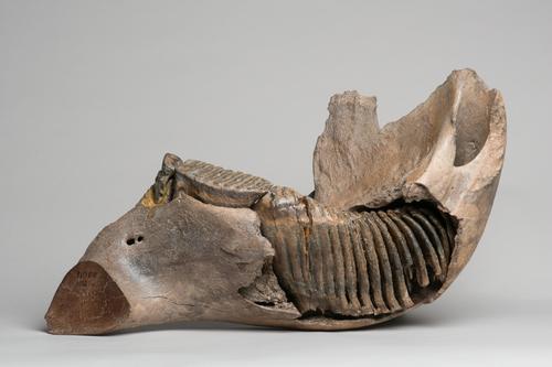 Fossiele mammoetkies in kaakfragment