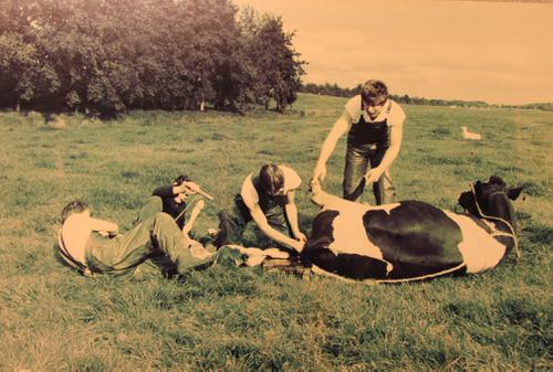 Foto van de verlossing van een koe