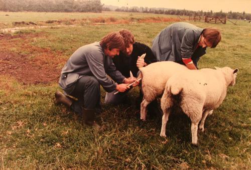 Foto van het 'sponzen' van schapen