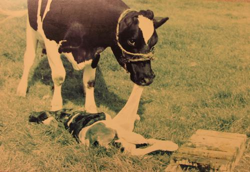 Foto van na de verlossing van een koe