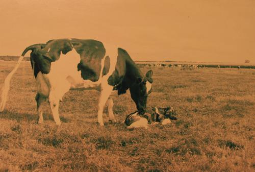 Foto na de verlossing van een koe