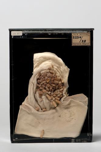 Preparaat met larven van Gasterophilus nasalis