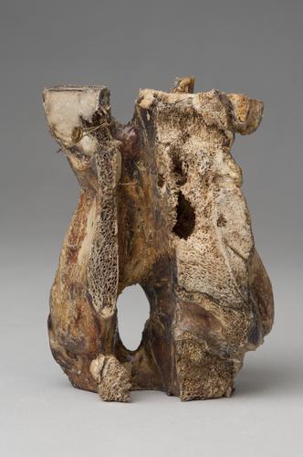 Halswervel van een paard met tuberculose