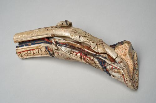 Model van onderbeen en hoef van een paard