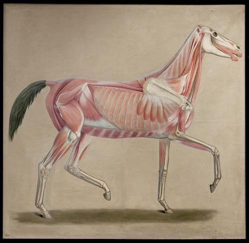 Schilderij m.b.t. de anatomie van het paard
