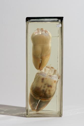 Twee voeten van een pasgeboren kalf
