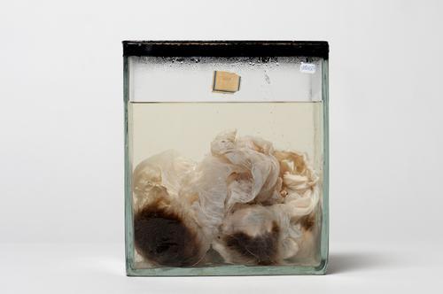Vloeistofpreparaat van een mola van een rund
