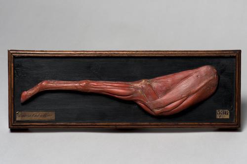 Wasmodel van een paardenbeen