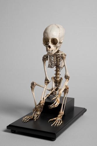 Skelet van een capucijneraap of kesi-kesi