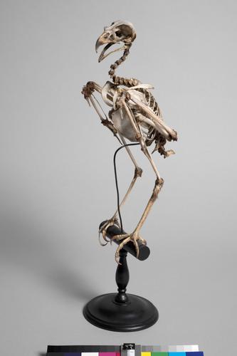 Skelet van een Kerkuil